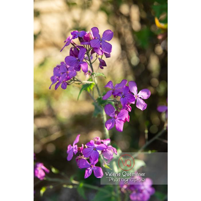 Fleurs de la monnaie-du-pape ou lunaire (lunaria sp) - Réf : VQF&J-10174 (Q3)