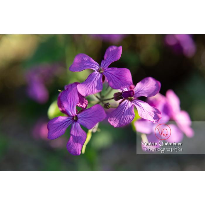 Fleurs de la monnaie-du-pape ou lunaire (lunaria sp) - Réf : VQF&J-10175 (Q3)