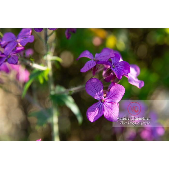 Fleurs de la monnaie-du-pape ou lunaire (lunaria sp) - Réf : VQF&J-10176 (Q3)