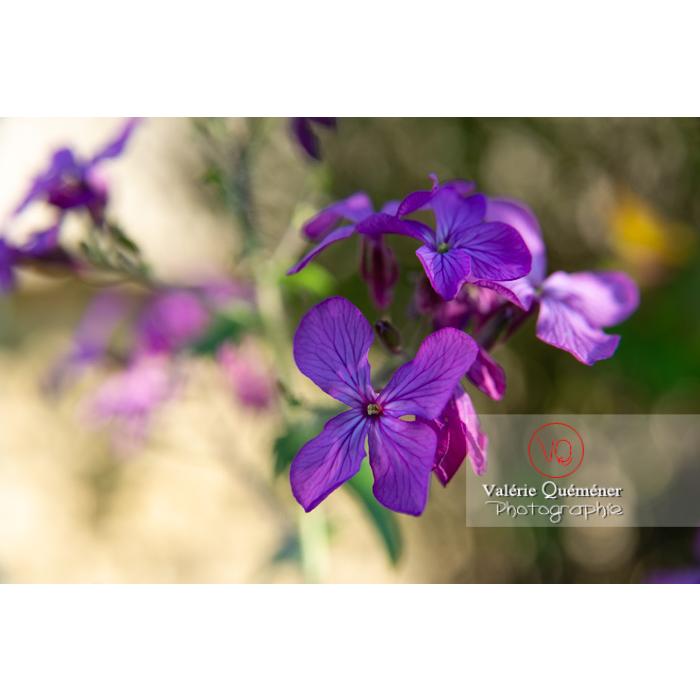 Fleurs de la monnaie-du-pape ou lunaire (lunaria sp) - Réf : VQF&J-10179 (Q3)