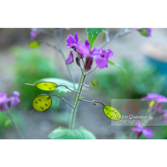 Fleurs et jeunes fruits de la monnaie-du-pape ou lunaire (lunaria sp) - Réf : VQF&J-10180 (Q3)