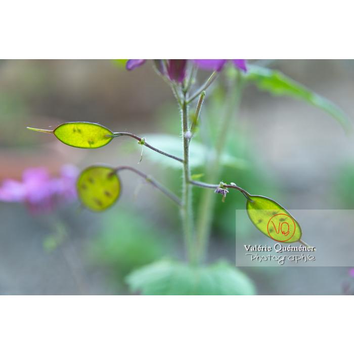 Fleurs et jeunes fruits de la monnaie-du-pape ou lunaire (lunaria sp) - Réf : VQF&J-10181 (Q3)