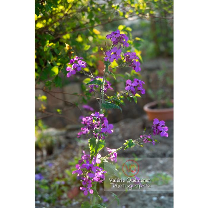 Monnaie-du-pape ou lunaire (lunaria sp) en fleurs - Réf : VQF&J-10182 (Q3)