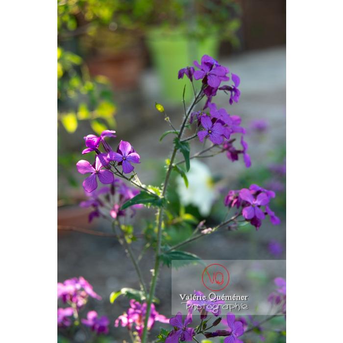 Fleurs de la monnaie-du-pape ou lunaire (lunaria sp) - Réf : VQF&J-10183 (Q3)