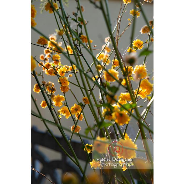 Fleurs jaunes du Corète du Japon (Kerria Japonica) - Réf : VQF&J-10191 (Q3)