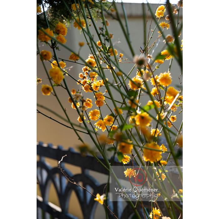 Fleurs jaunes du Corète du Japon (Kerria Japonica) - Réf : VQF&J-10192 (Q3)