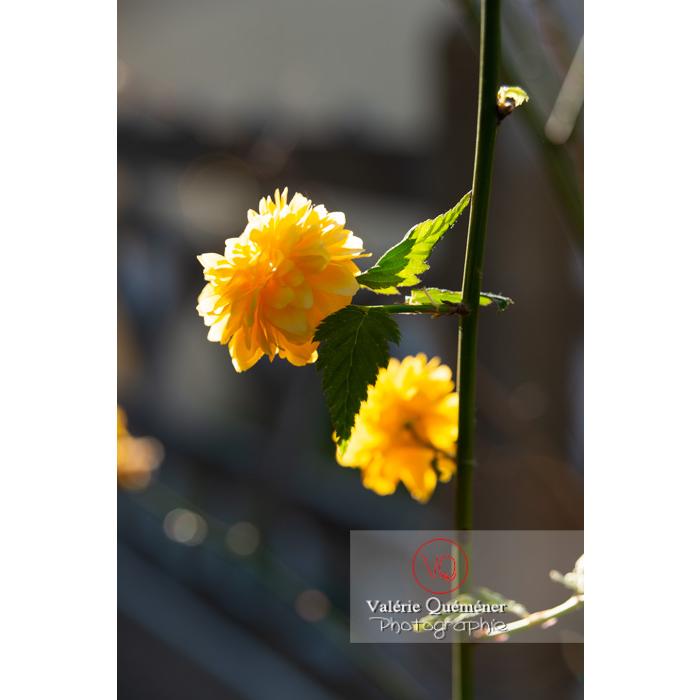 Fleurs jaunes du Corète du Japon (Kerria Japonica) - Réf : VQF&J-10193 (Q3)