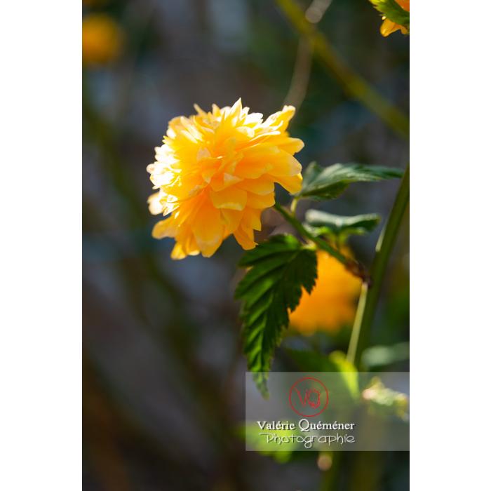 Fleurs jaunes du Corète du Japon (Kerria Japonica) - Réf : VQF&J-10194 (Q3)