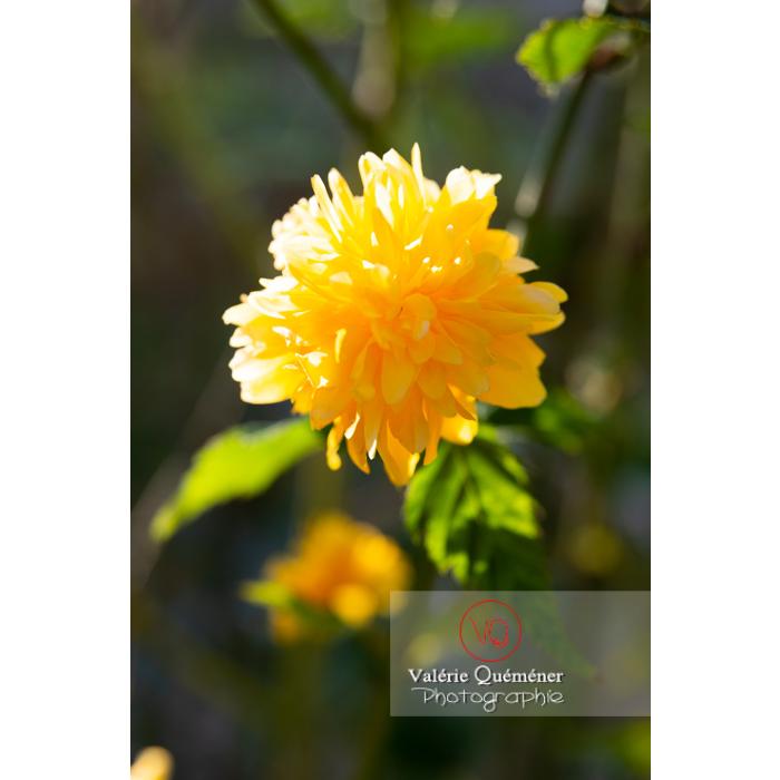 Fleurs jaunes du Corète du Japon (Kerria Japonica) - Réf : VQF&J-10195 (Q3)