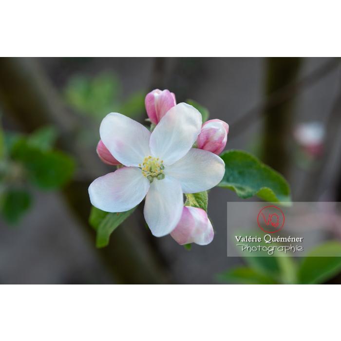 Floraison d'un jeune pommier décoratif (malus perpetu Evereste) - Réf : VQF&J-10197 (Q3)