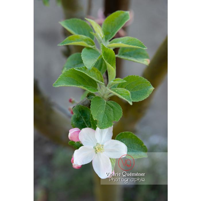 Floraison d'un jeune pommier décoratif (malus perpetu Evereste) - Réf : VQF&J-10198 (Q3)