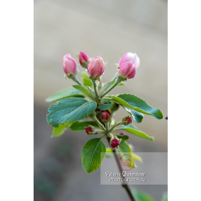 Bourgeons d'un jeune pommier décoratif (malus perpetu Evereste) - Réf : VQF&J-10199 (Q3)