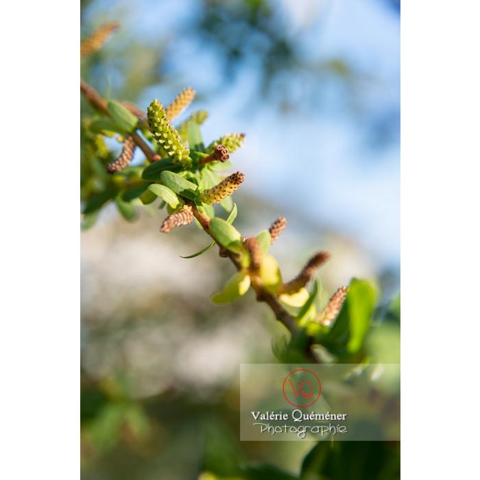Bourgeons de saule maculé ou saule crevette au printemps (salix integra) - Réf : VQF&J-10202 (Q3)
