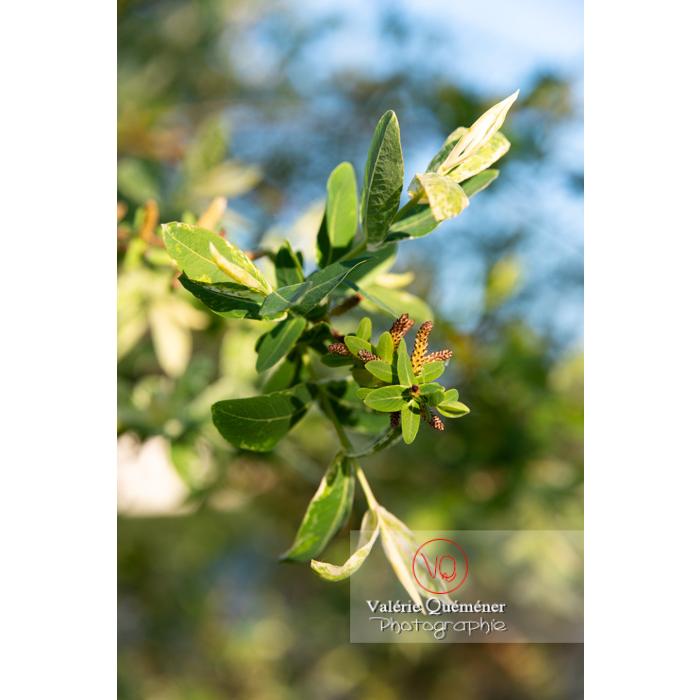 Feuillage et bourgeons de saule maculé ou saule crevette au printemps (salix integra) - Réf : VQF&J-10203 (Q3)