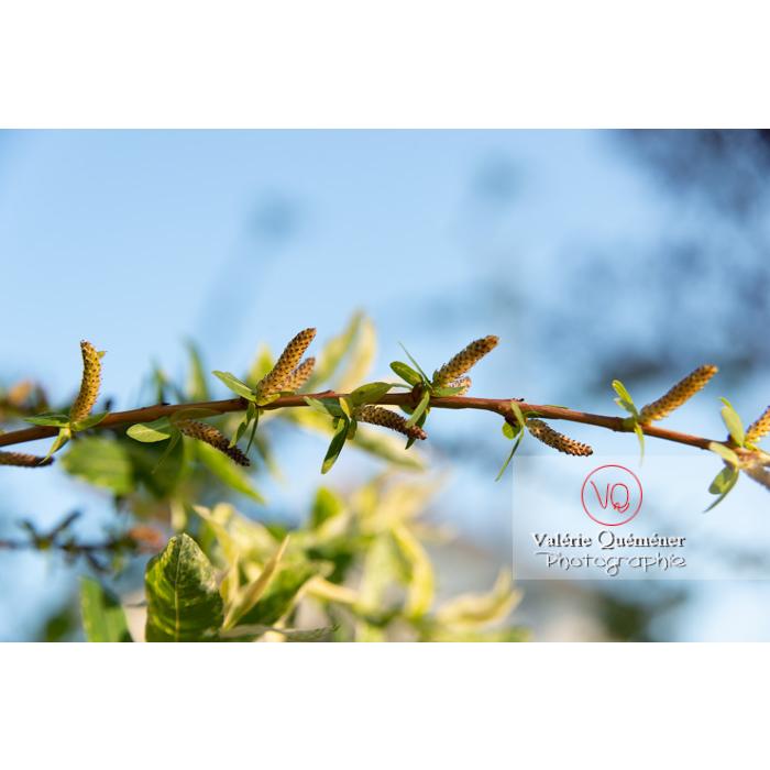 Bourgeons de saule maculé ou saule crevette au printemps (salix integra) - Réf : VQF&J-10204 (Q3)
