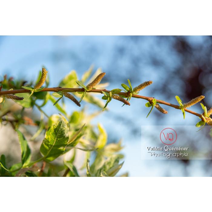 Bourgeons de saule maculé ou saule crevette au printemps (salix integra) - Réf : VQF&J-10205 (Q3)