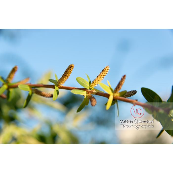 Bourgeons de saule maculé ou saule crevette au printemps (salix integra) - Réf : VQF&J-10206 (Q3)