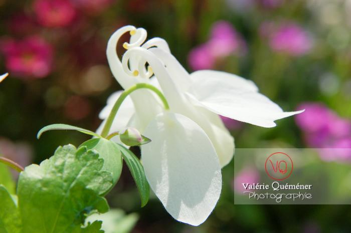 Fleur blanche d'ancolie - Réf : VQF&J-1021 (Q1)