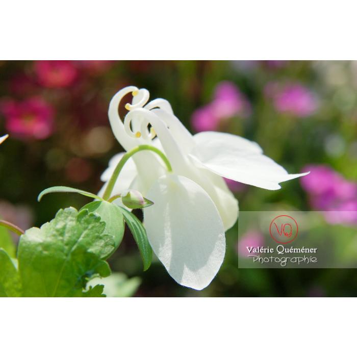 Fleur d'ancolie blanche - Réf : VQF&J-1021 (Q1)