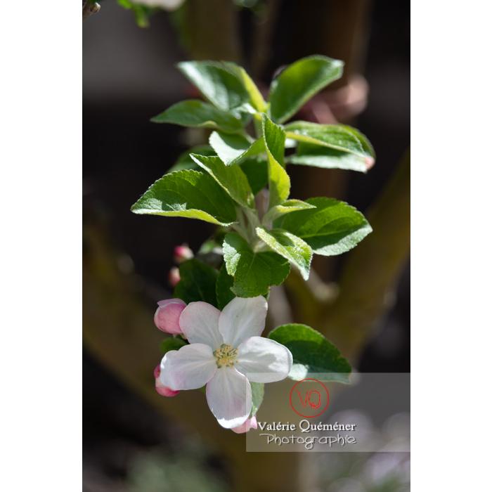 Floraison d'un jeune pommier décoratif (malus perpetu Evereste) - Réf : VQF&J-10215 (Q3)