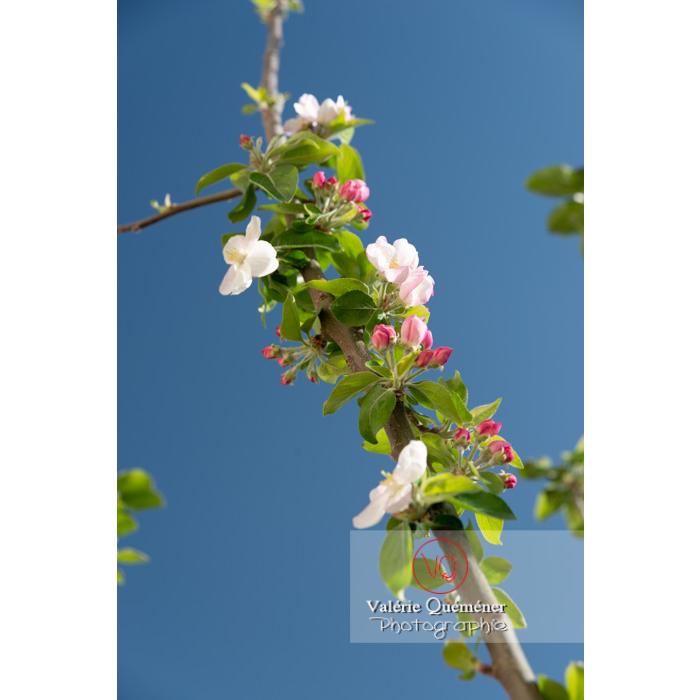 Floraison d'un jeune pommier décoratif (malus perpetu Evereste) - Réf : VQF&J-10216 (Q3)