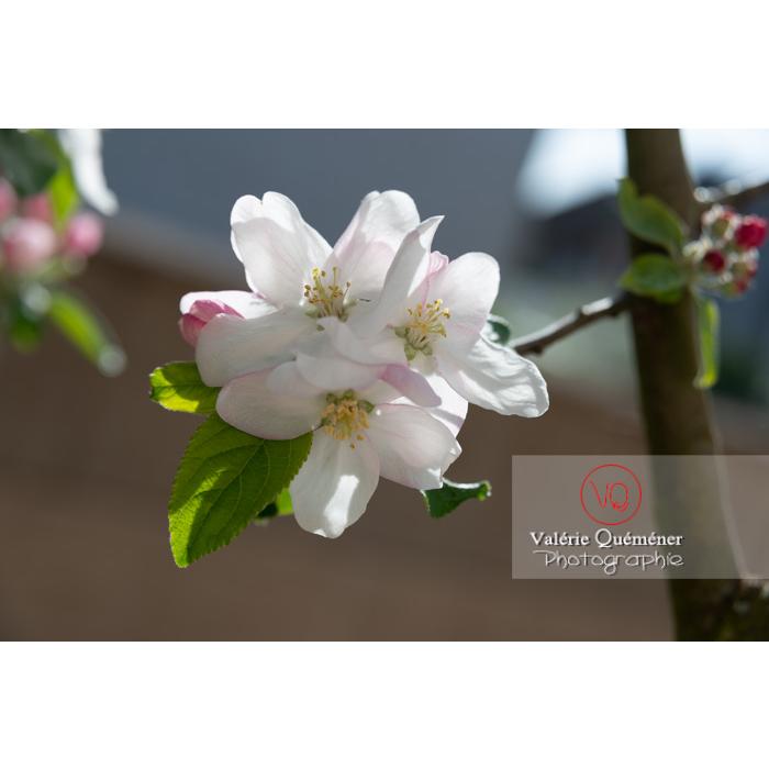 Floraison d'un jeune pommier décoratif (malus perpetu Evereste) - Réf : VQF&J-10220 (Q3)