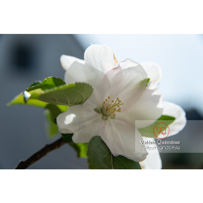 Floraison d'un jeune pommier décoratif (malus perpetu Evereste) - Réf : VQF&J-10224 (Q3)