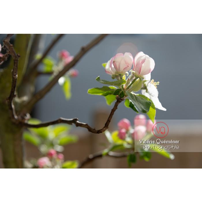 Floraison d'un jeune pommier décoratif (malus perpetu Evereste) - Réf : VQF&J-10225 (Q3)