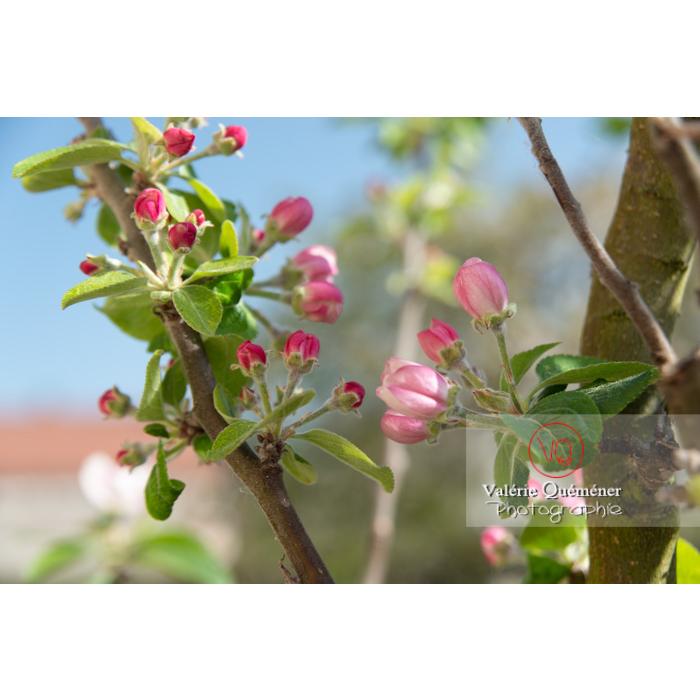 Floraison d'un jeune pommier décoratif (malus perpetu Evereste) - Réf : VQF&J-10229 (Q3)