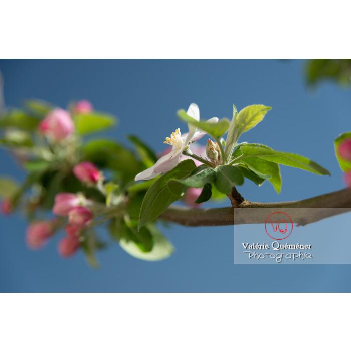 Floraison d'un jeune pommier décoratif (malus perpetu Evereste) - Réf : VQF&J-10231 (Q3)