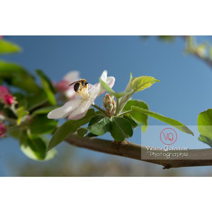 Abeille sur une fleur de jeune pommier (malus sp) - Réf : VQF&J-10232 (Q3)