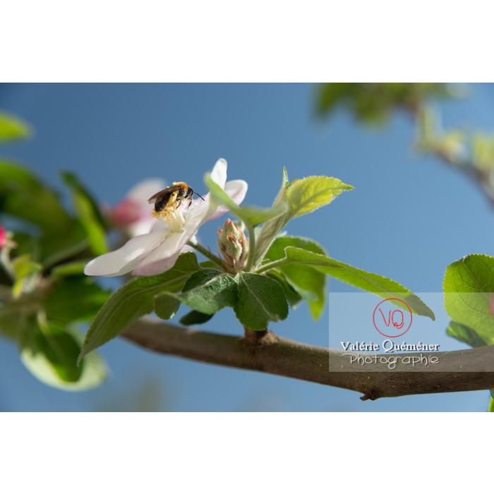 Abeille sur une fleur de jeune pommier (malus sp) - Réf : VQF&J-10234 (Q3)