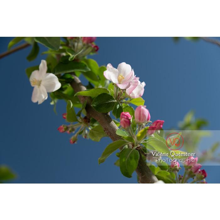 Floraison d'un jeune pommier décoratif (malus perpetu Evereste) - Réf : VQF&J-10235 (Q3)