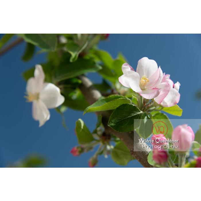 Floraison d'un jeune pommier décoratif (malus perpetu Evereste) - Réf : VQF&J-10237 (Q3)