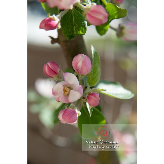 Bourgeons d'un jeune pommier décoratif (malus perpetu Evereste) - Réf : VQF&J-10238 (Q3)