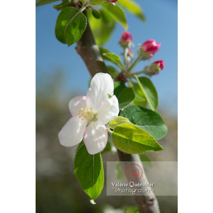 Floraison d'un jeune pommier décoratif (malus perpetu Evereste) - Réf : VQF&J-10240 (Q3)