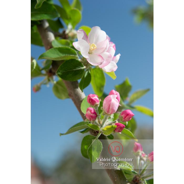 Floraison d'un jeune pommier décoratif (malus perpetu Evereste) - Réf : VQF&J-10241 (Q3)
