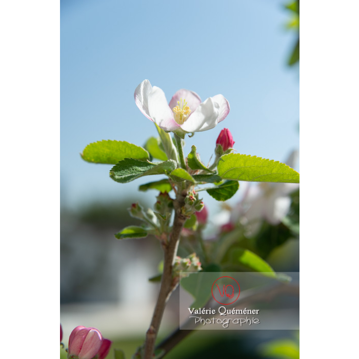 Floraison d'un jeune pommier décoratif (malus perpetu Evereste) - Réf : VQF&J-10243 (Q3)