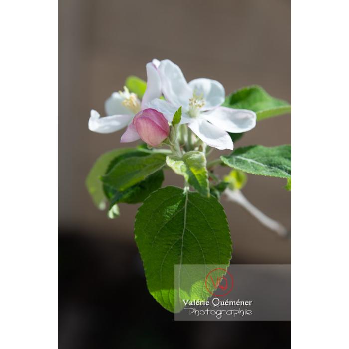 Floraison d'un jeune pommier décoratif (malus perpetu Evereste) - Réf : VQF&J-10245 (Q3)