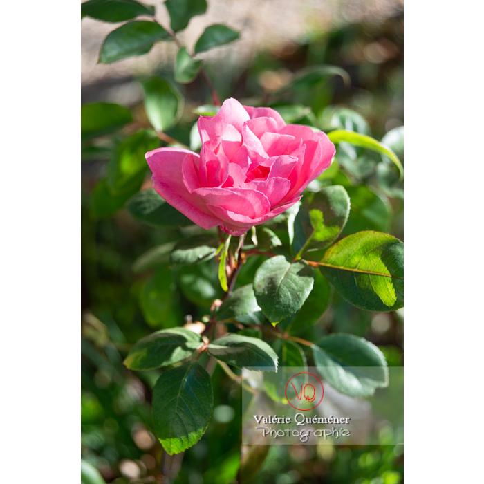 Grosse fleur rose de rosier (rosa sp) - Réf : VQF&J-10251 (Q3)