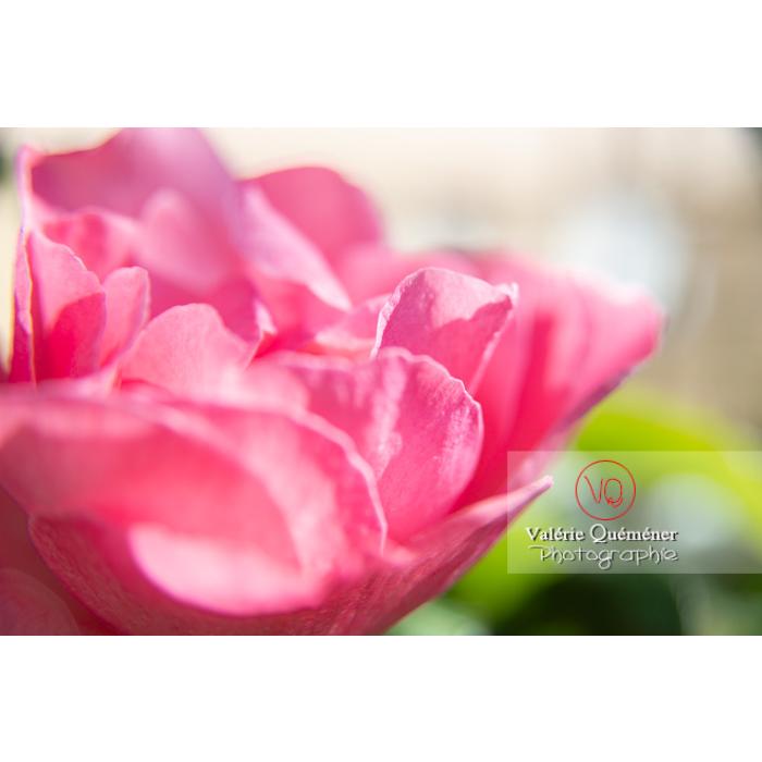 Gros plan de grosse fleur rose de rosier (rosa sp) - Réf : VQF&J-10252 (Q3)