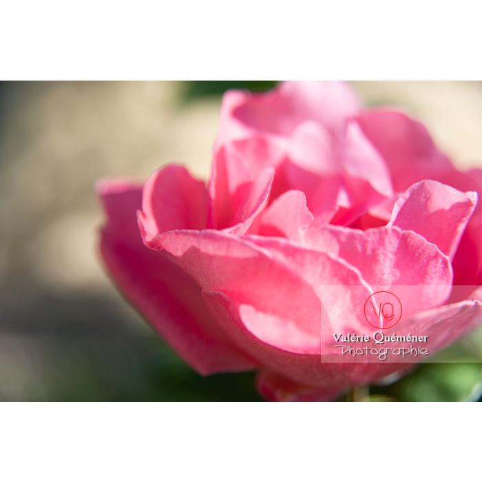Gros plan de grosse fleur rose de rosier (rosa sp) - Réf : VQF&J-10253 (Q3)