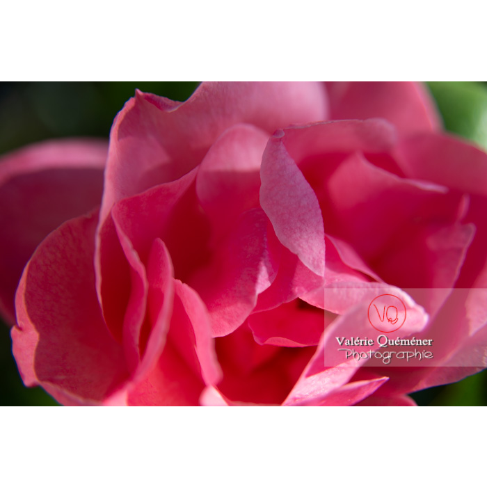 Gros plan de grosse fleur rose de rosier (rosa sp) - Réf : VQF&J-10254 (Q3)