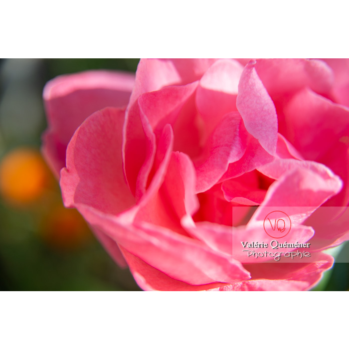 Gros plan de grosse fleur rose de rosier (rosa sp) - Réf : VQF&J-10255 (Q3)