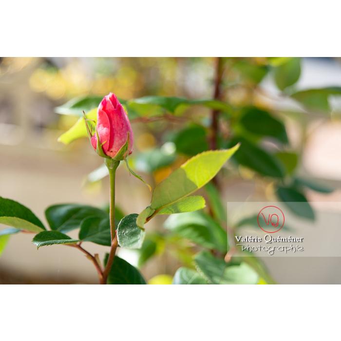 Bouton de fleur rose de rosier (rosa sp) - Réf : VQF&J-10259 (Q3)