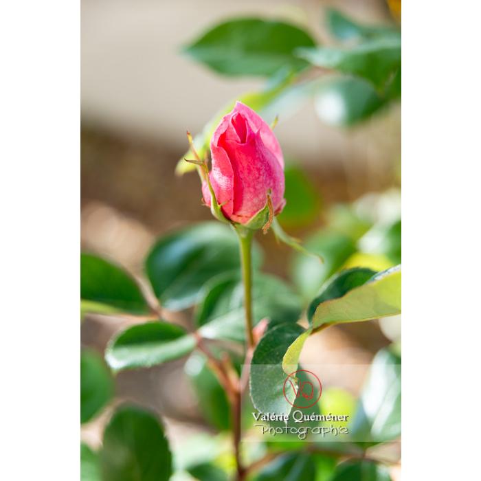 Fleur en bouton rose de rosier (rosa sp) - Réf : VQF&J-10261 (Q3)