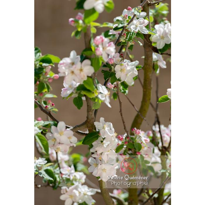 Floraison d'un jeune pommier décoratif (malus perpetu Evereste) - Réf : VQF&J-10262 (Q3)