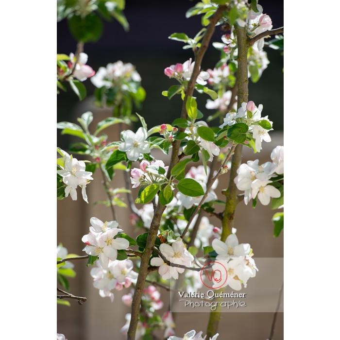 Floraison d'un jeune pommier décoratif (malus perpetu Evereste) - Réf : VQF&J-10263 (Q3)
