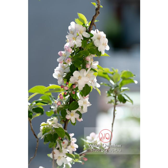 Floraison d'un jeune pommier décoratif (malus perpetu Evereste) - Réf : VQF&J-10264 (Q3)
