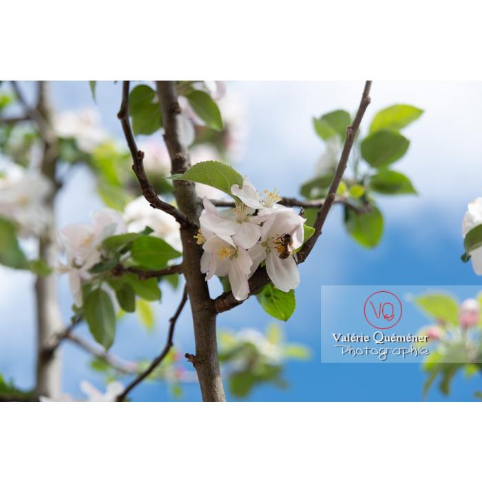 Abeille sur une fleur de jeune pommier (malus sp) - Réf : VQF&J-10266 (Q3)